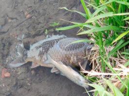 moria-di-pesci-nel-cavo-moggio-a-Trezzano-sul-naviglio